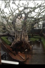 The fig tree at the front of the Normanby Hotel has toppled over.
