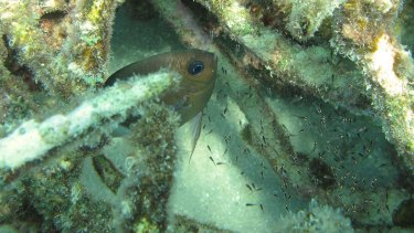 The spiny damselfish, common on reefs in Australia and the region.