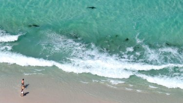 Sharks congregate metres from shore at Jervis Bay.