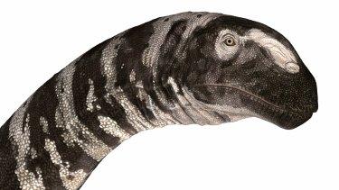 Bones of the Rhoetosaurus were discovered in Queensland in 1924.