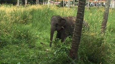 The elephant that attacked Australian man Chan Yun on the Thai resort island of Phuket.