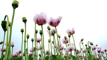 Legal opium poppies growing in Victoria.