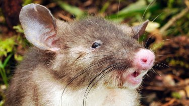 Good for slurping: The hog-nosed rat from Indonesia.