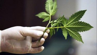 Perth-based medicinal marijuana company MMJ PhytoTech is on the rise.