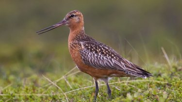 The vulnerable bar-tailed godwit from Russia at Toondah Harbour at Cleveland in international wetlands.