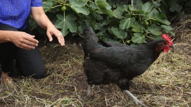 In our home, every day is Ferntree Gully Respect for Chickens Day.