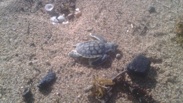 WWF-Australia were sent images from a concerned citizen of a turtle near a lump of coal off a Mackay beach.