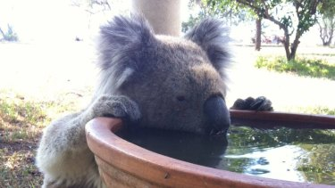 A koala that regularly drank from a bird bath on Gunnedah farmer Robert Frend's property.