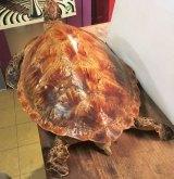 A vintage taxidermy sea turtle.