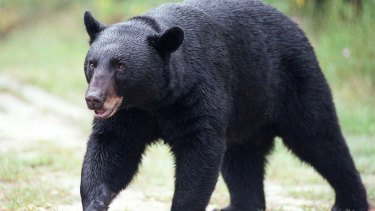 Target: A black bear, seen here in a file photo.