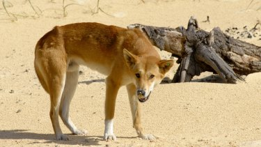 The dingo has an essential role in suppressing feral cat populations.