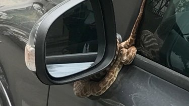 The python wrapped itself around a Volvo side mirror on Sunday.