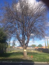 A tree lost recently on a Dianella development site.