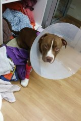 Homeless dog BJ was treated for a month after an escalator accident.