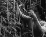"A Swiss woman ""harvests"" fresh spaghetti in the legendary April Fools segment."