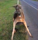 The kangaroo in Mernda.