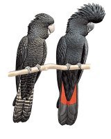 Female and male red-tailed black cockatoo.