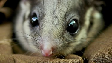 Victoria's fauna emblem, the Leadbeater's possum.