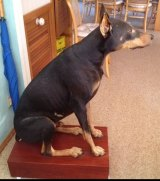 The stuffed Doberman that was listed for sale on eBay.