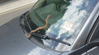 The snake was first spotted on the windscreen of the Volvo.