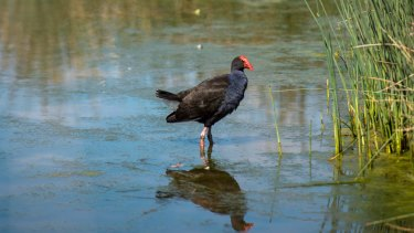 Friends of Elster Creek are suggesting the Elsternwick golf course in Elwood is turned into a wetlands where native species of flora and fauna can thrive. Pictured is a purple swamp hen.