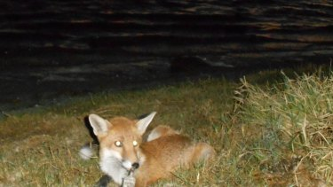 One of the many foxes spotted in Perth suburbs in the past year.