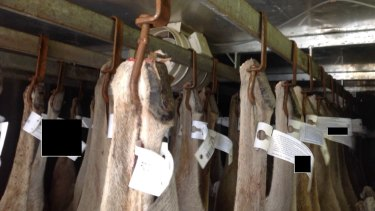 Rusty hooks being used to hang kangaroo carcasses.
