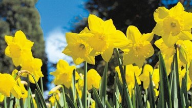 If anyone suffered daffodil side effects I offer my apologies for social cowardice.