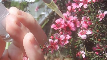 Sampling nectar from a leptospermum 'manuka' honey bush.