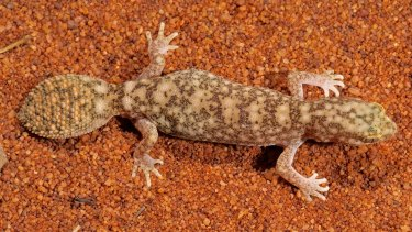 A new species of fat-tailed gecko has been discovered by scientists in outback Queensland.