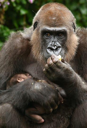 Gorilla mother Frala holds her newborn baby.