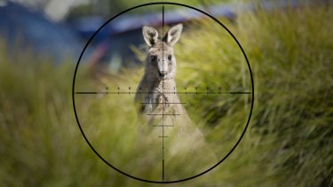 The number of Kangaroos allowed to be culled in Victoria has more than doubled in two years