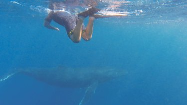 WA's first group of humpback whale tour swimmers saw three males up to 15 metres long.
