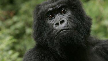 Critically endangered: The Eastern gorilla.
