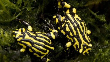 Endangered: Adult southern corroboree frogs.