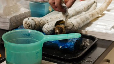 Giant shipworms live in a tusklike tube made of calcium carbonate.