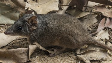 The silver-headed antechinus (Antechinus argentus) is under threat.