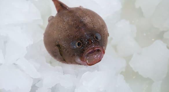 Deep sea trawl finds never-seen fish, faceless fish and the shortarse feelerfish