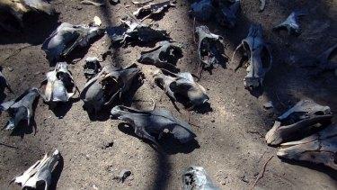 A mass grave of greyhound skeletons was found in 2009 in Bendigo Victoria.