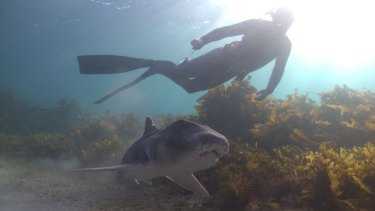 A Port Jackson shark with a snorkeler.
