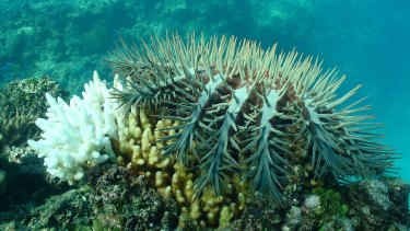 A fourth major crown of thorn starfish has been underway since 2009 with little sign that culling is having a significant effect, scientists say.