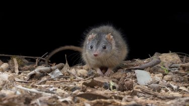 The marsupial mouse Antechinus essentially mates to death during a brief breeding frenzy.