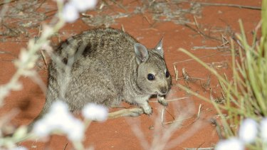 Endangered Banded Hare-wallaby release on Faure Island, Shark Bay.