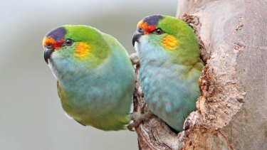 The purple-crowned lorikeet is among the parrots in decline.