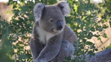 Only about 50 to 100 koalas are now present between the Bega and Bermagui rivers due to historic clearing, logging and climate change.
