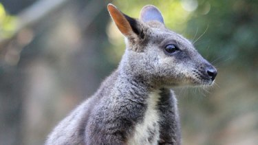 A Brush-tailed rock wallaby, listed as vulnerable.