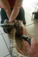 It is unknown whether the owner of the pet python was an experienced handler.