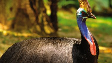 A Cassowary at Wildlife World, Sydney. The government is seeking to reverse the decline of 20 priority birds, 20 priority mammals and 30 priority plants by 2020.