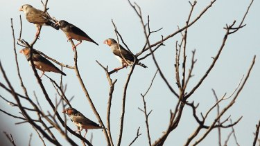 Zebra finches in the wild, at the Ethabuka Station's flora and fauna reserve.