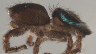 Maratus licunxin, the peacock spider named after Queensland Ballet's artistic director, Li Cunxin.